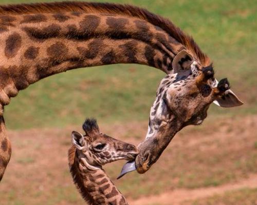 El comercio de jirafas, restringido por primera vez