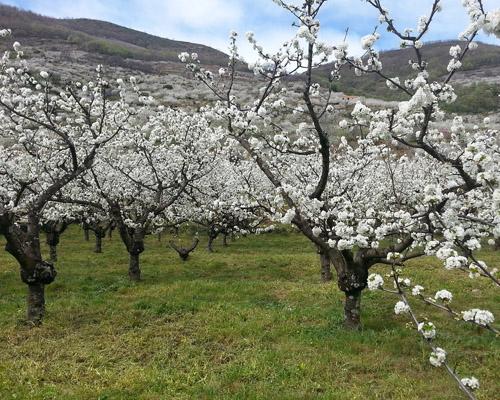 Comienza la floración de los cerezos del Valle del Jerte
