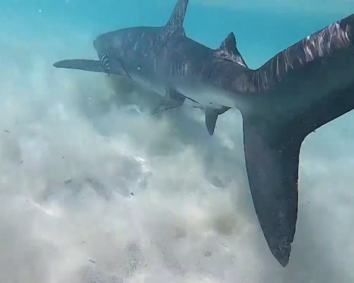 Un tiburón azul aparece en aguas de Menorca