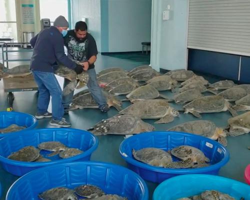 Rescatan a más de 4.000 tortugas aturdidas por el frío en Texas