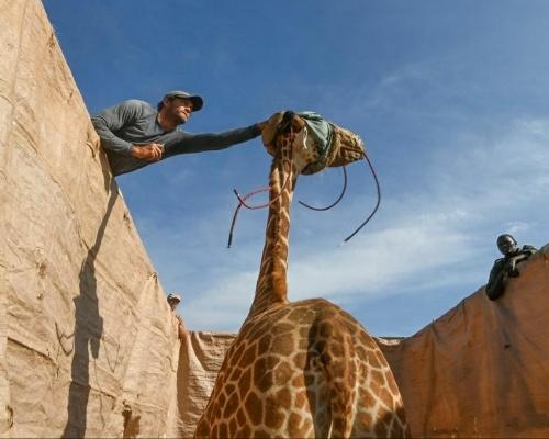 Así está siendo el complejo rescate de ocho jirafas en Kenia