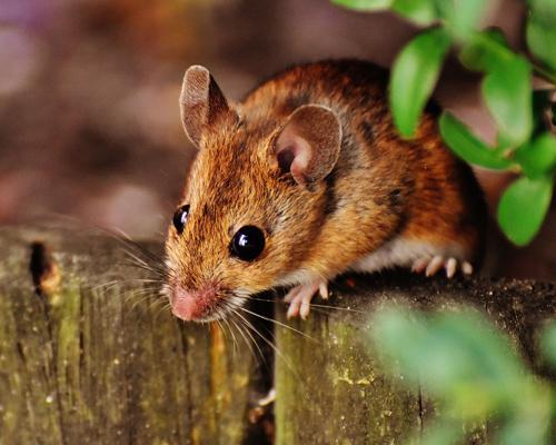 Una plaga de ratones amenaza las cosechas de Australia
