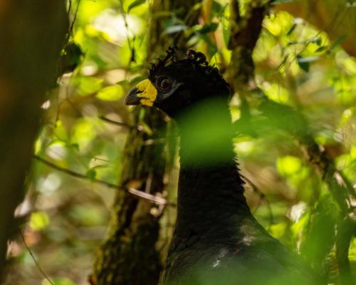 El muitú vuelve al parque del Iberá 50 años después de extinguirse