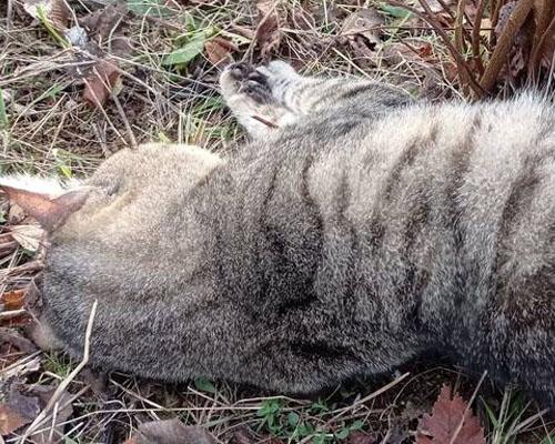 Hallan cadáveres de gatos atrapados en lazos trampa en Tarragona