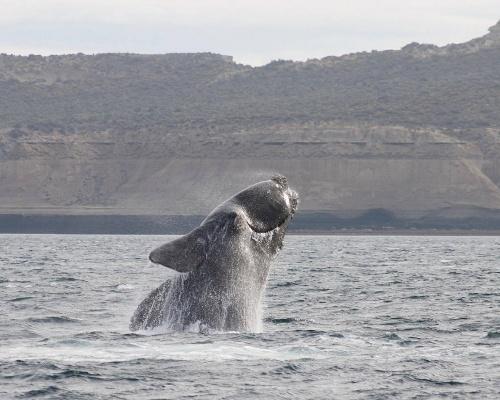 Los barcos ponen en peligro a la ballena franca