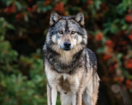 Matan a tiros a Takaya, el lobo más famoso de Canadá
