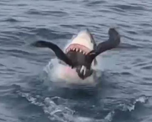 Impactante vídeo: un tiburón blanco caza a un ave