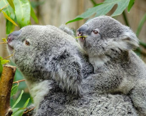 ¿Cuántas horas puede dormir un koala cada día?