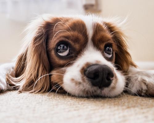 Claves básicas para elegir a tu perro ideal