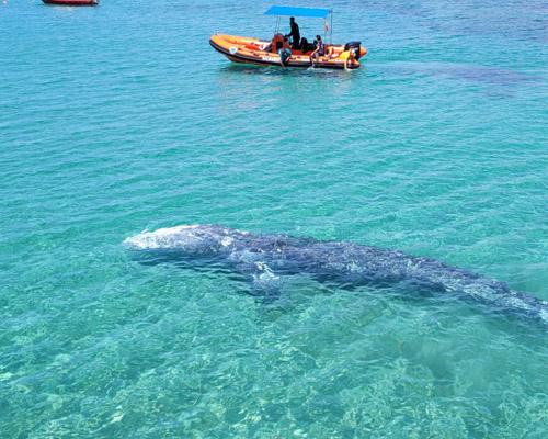 ¿Dónde está la ballena Wally que apareció en las Baleares?