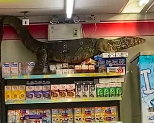¿Qué hace un varano como tú en un supermercado como este?