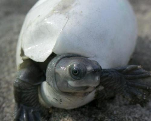 Salvan de la extinción a la tortuga más feliz