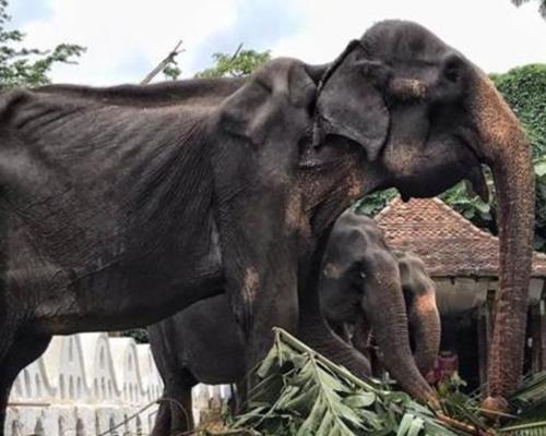 Una elefanta explotada en Sri Lanka hace saltar la alarma