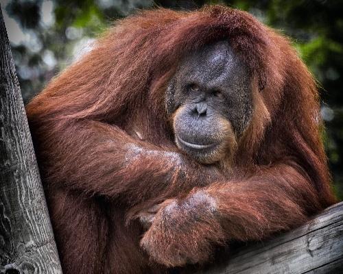 ¿Sabías que el orangután comparte el 97% de nuestros genes?