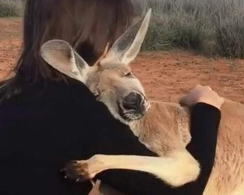 Un canguro abraza cada día a sus rescatadores