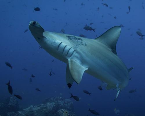 Desciende un 71% la población de tiburones en medio siglo