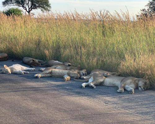 Una manada de leones descansa en el asfalto