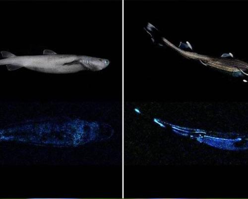 ¿Sabías que el tiburón luminoso más grande vive en Nueva Zelanda?