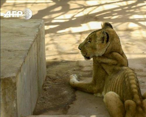 Alarma: los leones de un zoo de Sudán mueren desnutridos