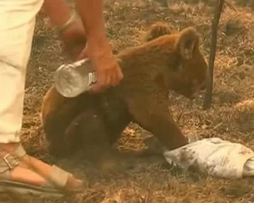 Investigan la masacre de 80 koalas en Australia