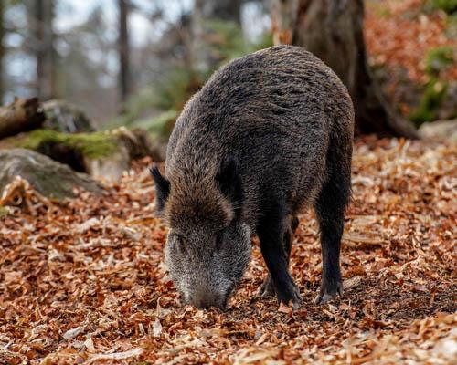 PACMA evita que Asturias permita la caza