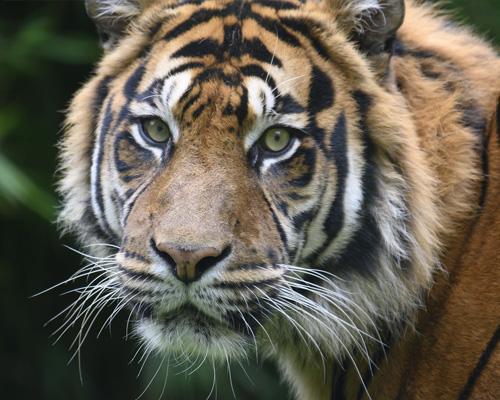¿Sabías que el tigre es un animal sagrado en la India?