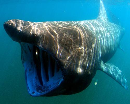 Tiburones peregrinos sorprenden a los surfistas