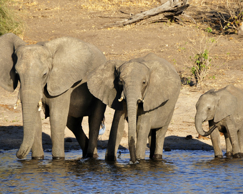 El gobierno de Botsuana defiende el comercio con marfil de elefante