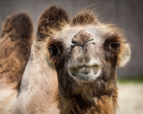 Francotiradores de Australia sacrificarán 10.000 camellos