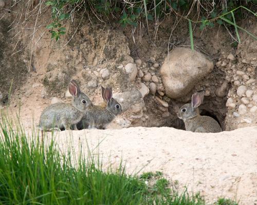 ADIF sepulta a cientos de conejos en Andalucía