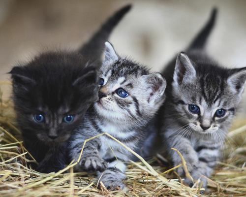Veterinarios recomiendan vacunar a gatos contra la COVID-19