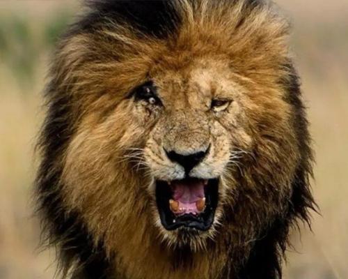 Muere Scarface, el león más famoso de Kenia
