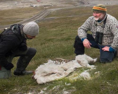 El cambio climático mata a 200 renos en Noruega