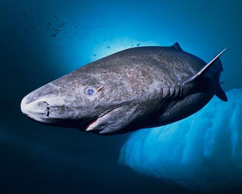 Los tiburones, al borde de la extinción hace 19 millones de años