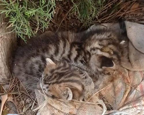 Se busca a quienes abandonaron a seis gatos con los hocicos atados