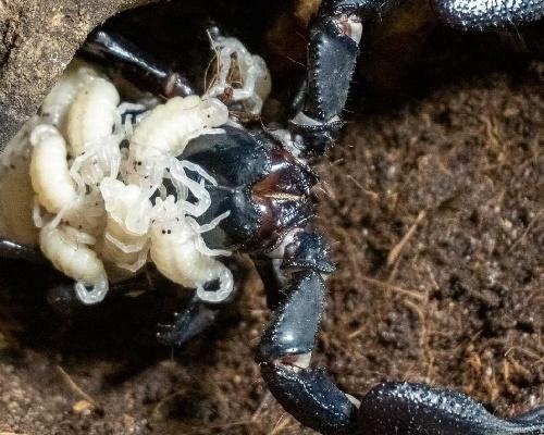 Nacen crías del escorpión más grande del mundo en Valencia