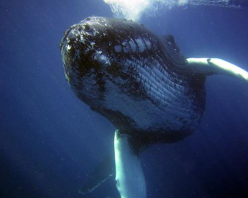 Las diez curiosidades de la ballena jorobada