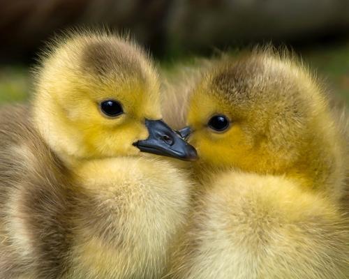 Nueva York pone fin a la venta de foie gras