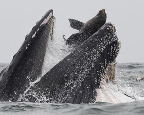 Una ballena jorobada engulle por error a un lobo marino