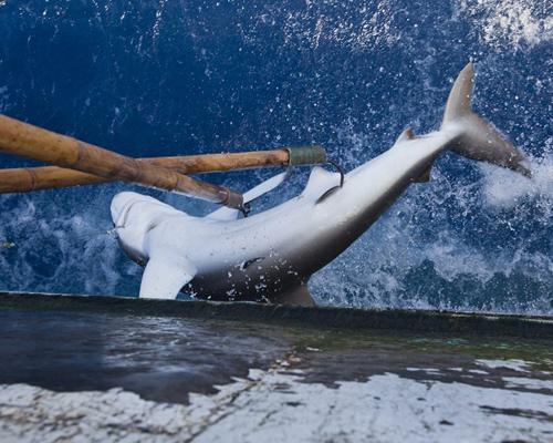 Barcos españoles capturan miles de tiburones en la UE