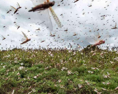 Una plaga de langostas recorre Argentina y amenaza Brasil