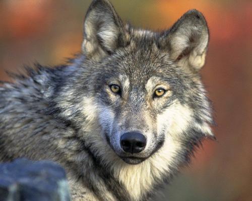Primera condena por caza ilegal de un lobo en España