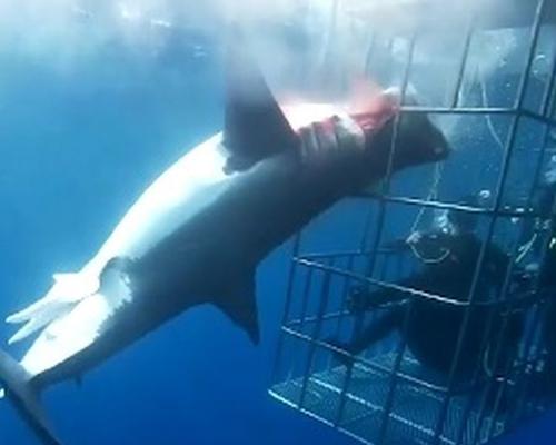 Un tiburón muere desangrado en una jaula de turistas