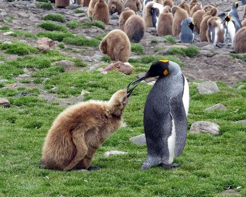 ¿Dónde están los pingüinos rey desaparecidos?