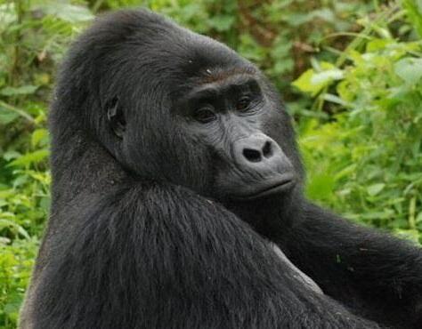 Gorilas del zoo de Atlanta dan positivo en covid-19