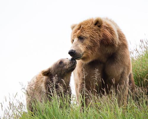 El lobo, el oso y el lince: pilares amenazados de nuestra fauna
