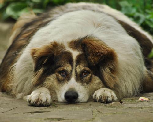 ¿Cómo evitar que nuestras mascotas padezcan obesidad?