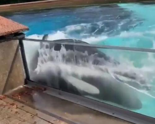 Las dramáticas imágenes de una orca en cautividad golpeándose