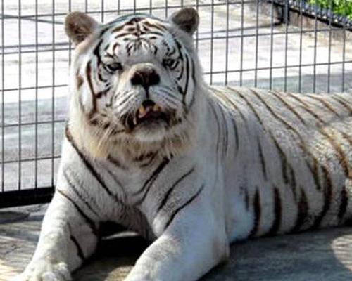 """""""El tigre blanco no debería existir"""""""