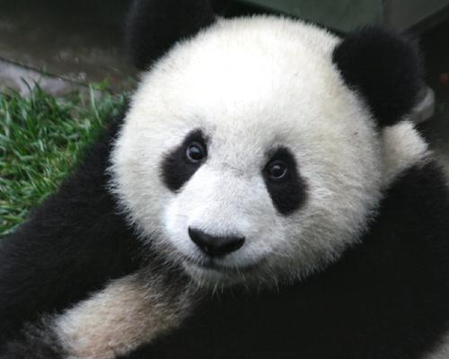 ¿Sabías que... el oso panda come hasta 12 kilos de bambú al día?